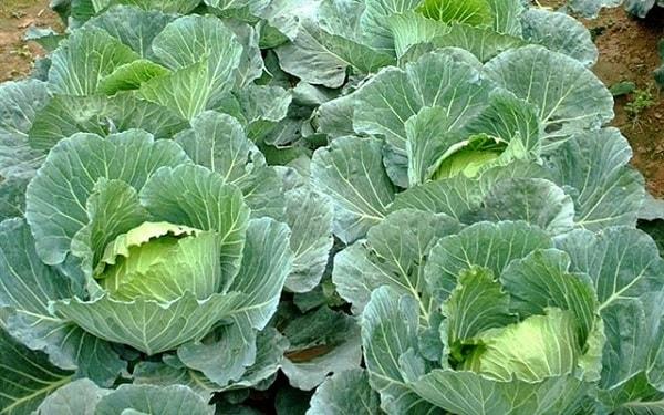 Hình ảnh rau bắp cải