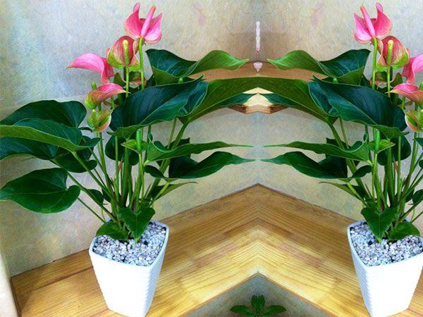 Cây hoa hồng môn mang lại may mắn cho người sinh năm Kỷ Mão