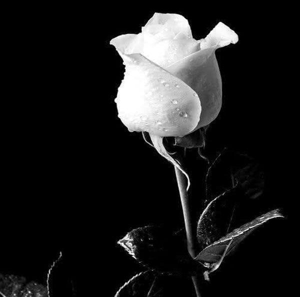 Hoa Hồng trắng - lời xin lỗi chân thành