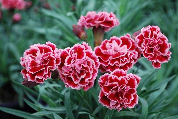 Lời xin lỗi đầy tinh tế từ hoa Cẩm Chướng