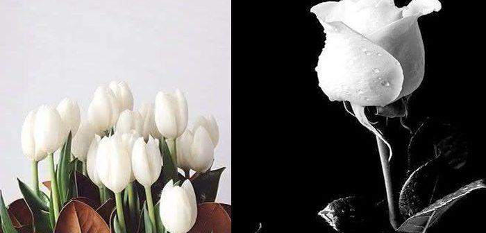 Những loài hoa dùng để xin lỗi