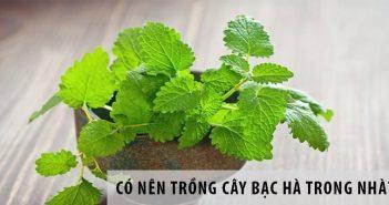 Có nên trồng cây bạc hà trong nhà?